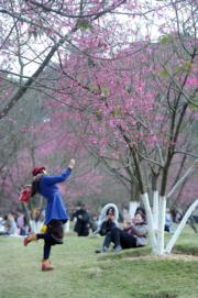 2月4日,遊人在廣西南寧市石門森林公園與櫻花合照。(中新社)