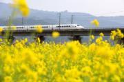 2月3日,一列火車從貴州省榕江縣口寨村油菜花田旁邊飛馳經過。(新華社)