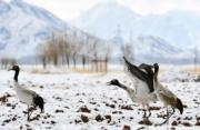 鶴舞雪域──高原特有的黑頸鶴在雪中嬉戲。(拉薩市林周縣黑頸鶴保護區)(新華社)