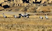 2018年2月3日,在珠穆朗瑪峰國家級自然保護區拍攝的黑頸鶴 (新華社)