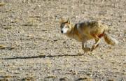2018年2月5日,在珠穆朗瑪峰國家級自然保護區拍攝的一隻奔跑中的野狼  (新華社)