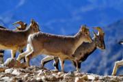 2018年2月4日,在珠穆朗瑪峰國家級自然保護區拍攝的岩羊   (新華社)