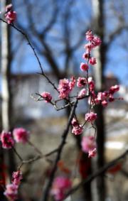 春到拉薩──拉薩街頭初春的花朵 (新華社)