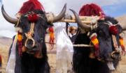 2018年3月17日,藏曆正月三十,西藏春耕大典──拉薩市邦堆鄉村民和耕牛盛裝舉行傳統春耕開犁儀式,祈求風調雨順、五穀豐登。(新華社)