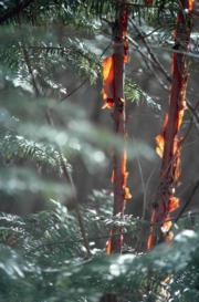 九寨溝珍貴樹木「赤樺」(2004年新華社資料圖片)