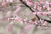 江蘇的一隻小鳥停在梅花枝上。(新華社)