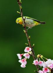 福州的一隻小鳥停在櫻花枝上。(新華社)
