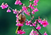 鳥兒與櫻花(新華社)