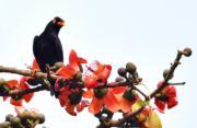 鳥兒站在木棉樹枝上(法新社)