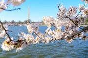 【歐美櫻花】美國華盛頓(Washington)櫻花(新華社,攝於2018年4月6日)