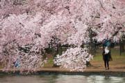 【歐美櫻花】美國華盛頓(Washington)櫻花(法新社,攝於2018年4月4日)