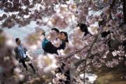 【歐美櫻花】一對新人在美國華盛頓(Washington)櫻花下拍婚紗照。(法新社,攝於2018年4月6日)(法新社)