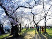 【歐美櫻花】美國華盛頓(Washington)櫻花盛開。(新華社,攝於2018年4月5日)