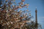 【歐美櫻花】法國巴黎櫻花(法新社,攝於2018年4月6日)