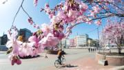 【歐美櫻花】德國漢諾威(Hannover)櫻花(法新社,攝於2018年4月6日)