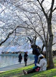 【歐美櫻花】美國華盛頓(Washington)櫻花盛開,遊人在湖畔賞花。(新華社,攝於2018年4月5日)