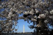 【歐美櫻花】美國華盛頓(Washington)櫻花(法新社,攝於2018年4月6日)