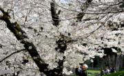 【歐美櫻花】意大利羅馬的公園櫻花盛開。(法新社,攝於2018年4月2日)