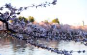 【歐美櫻花】美國華盛頓(Washington)櫻花盛開。(新華社,攝於2018年4月6日)