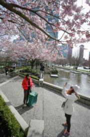 【歐美櫻花】加拿大溫哥華(Vancouver)櫻花盛放。(新華社,攝於2018年3月30日)