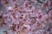 【歐美櫻花】美國馬里蘭州(Maryland)櫻花(法新社,攝於2018年3月21日)