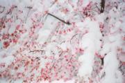 【歐美櫻花】美國馬里蘭州(Maryland)櫻花被雪覆蓋(法新社,攝於2018年3月21日)