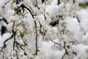 【歐美櫻花】阿爾巴尼亞(Albania)櫻花被雪覆蓋(法新社,攝於2018年2月28日)