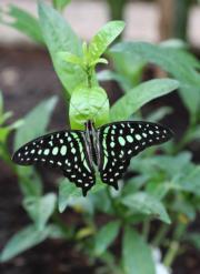 倫敦自然歷史博物館「奇異蝴蝶展」(新華社)