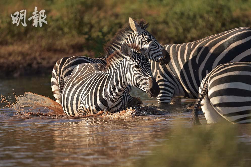 野生動物大觀:斑馬 獅子 非洲象