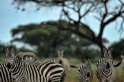 肯尼亞安博塞利國家公園的斑馬(法新社)