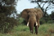 非洲象(法新社)