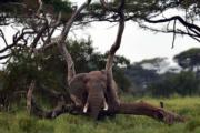 肯尼亞安博塞利國家公園的非洲象(法新社)