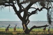肯尼亞安博塞利國家公園的長頸鹿(法新社)