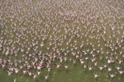肯尼亞安博塞利國家公園(Amboseli National Park)的紅鶴(法新社)