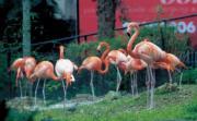 香港動植物公園的紅鶴 (2002年資料圖片)