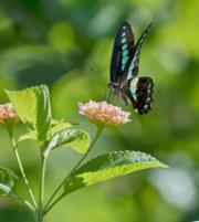 2018年9月2日,在福建省福州市溫泉公園,一隻蝴蝶停歇在馬纓丹花上。(新華社)