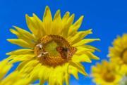 2018年7月15日,德國東部的向日葵盛放,引來蜜蜂和蝴蝶。(法新社)