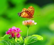 2018年8月12日,福建省福州市溫泉公園內,蝴蝶停歇在馬纓丹花枝頭。(新華社)