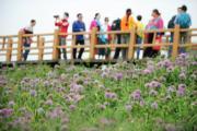遊客到貴州赫章縣大韭菜坪景區觀賞一望無際的韭菜花海。(新華社)