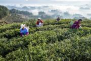 2018年3月23日,重慶大觀鎮茶農採摘春茶。(新華社)