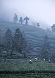 2018年3月26日,浙江富陽區拔山村,茶農在雲霧繚繞的茶山上採摘春茶。(新華社)