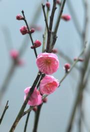 【寒冬花艷】湖北省宣恩縣貢水河畔的梅花。圖片攝於2018年12月27日。(新華社)