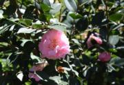 【寒冬花艷】昆明市西山區內的茶花盛開。圖片攝於2018年12月21日。(新華社)