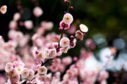 【梅花綻放】江蘇省泰州市梅蘭芳公園的梅花。圖片攝於2019年3月2日。(新華社)