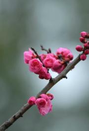 【梅花綻放】湖北省宣恩縣的梅花。圖片攝於2019年3月1日。(新華社)