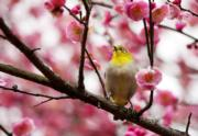 【梅花綻放】貴陽市南明河畔的梅花綻放,連小烏都在枝上駐足片刻。圖片攝於2019年1月9日。(新華社)