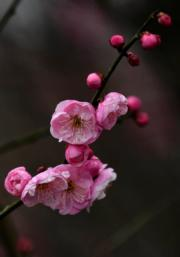 【梅花綻放】湖北宣恩縣的梅花。圖片攝於2019年1月31日。(新華社)