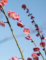 【梅花綻放】貴州省畢節市的梅花。圖片攝於2019年1月18日。(新華社)