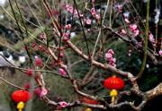 【梅花綻放】上海植物園內梅花盛放。圖片攝於2019年1月20日。(新華社)