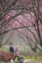 【梅花綻放】貴州的賞花。圖片攝於2019年1月20日。(新華社)